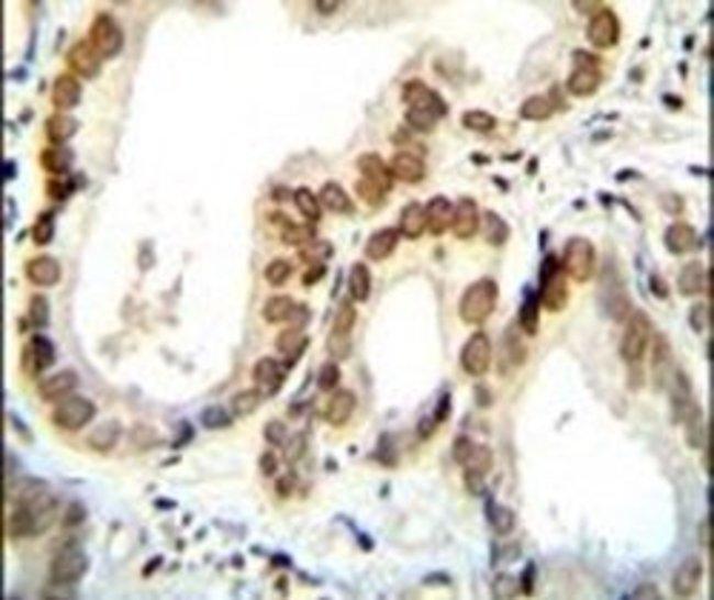 BTG2 Rabbit anti-Human, Polyclonal, Invitrogen 400 µL; Unconjugated