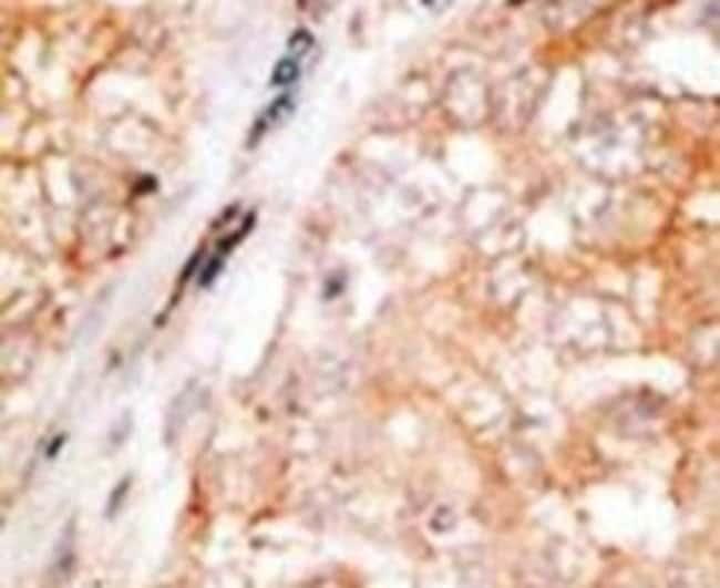 Bcl-W Rabbit anti-Human, Mouse, Polyclonal, Invitrogen 400 µL; Unconjugated