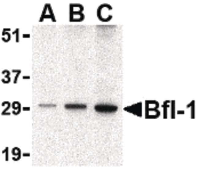 BCL2A1 Rabbit anti-Human, Mouse, Polyclonal, Invitrogen 100 µg; Unconjugated