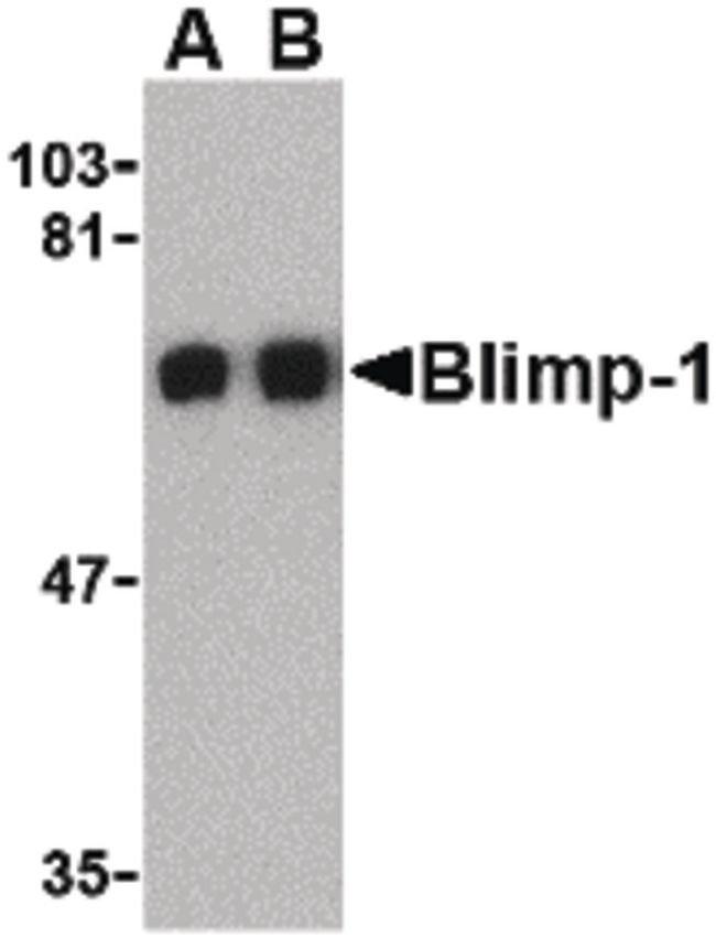 Blimp-1 Rabbit anti-Human, Mouse, Rat, Polyclonal, Invitrogen 100 µg;