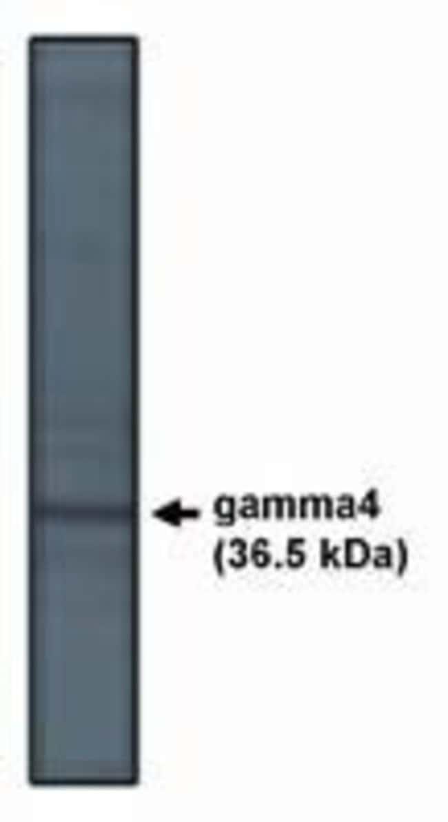 CACNG4 Rabbit anti-Human, Polyclonal, Invitrogen 100 μg; Unconjugated:Antibodies