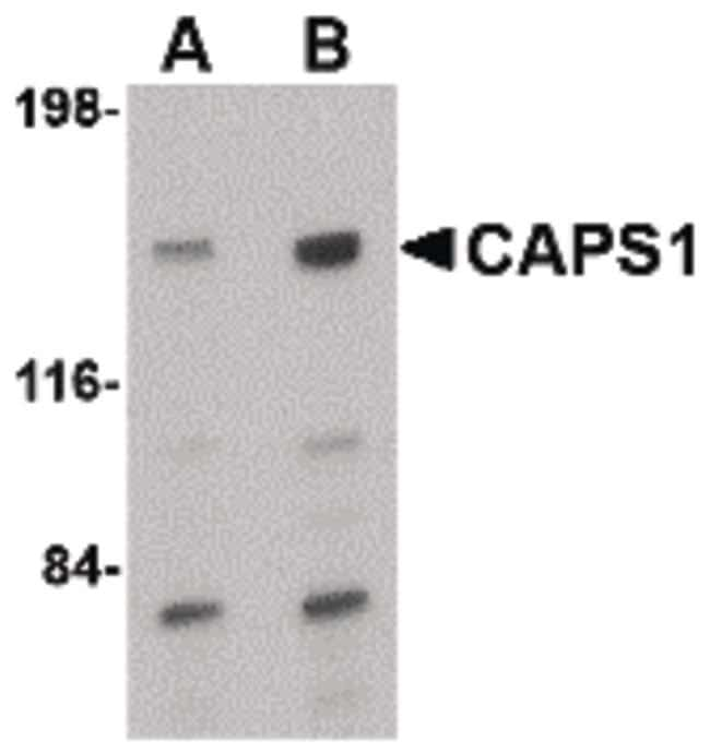 CAPS1 Rabbit anti-Human, Mouse, Rat, Polyclonal, Invitrogen 100 µg;