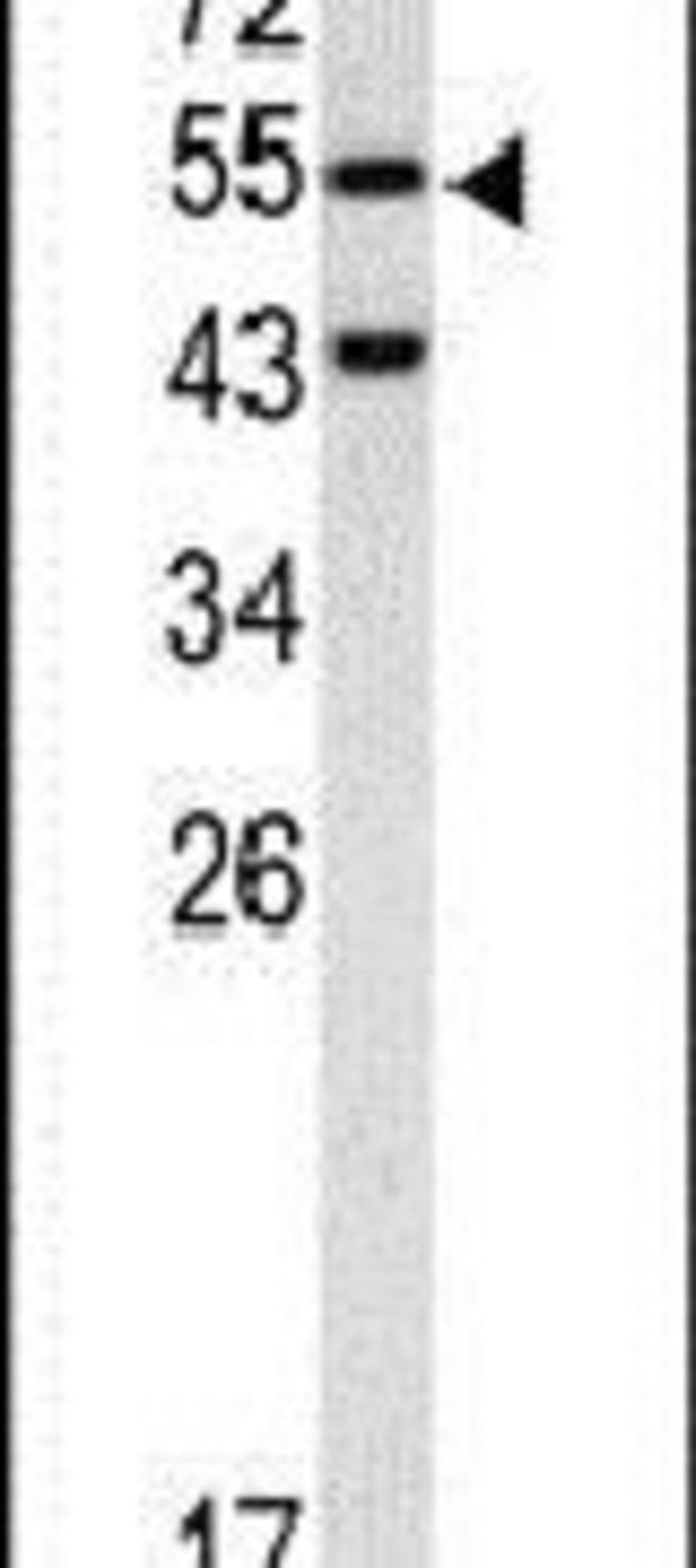 Caspase 8 Rabbit anti-Human, Polyclonal, Invitrogen 400 µL; Unconjugated