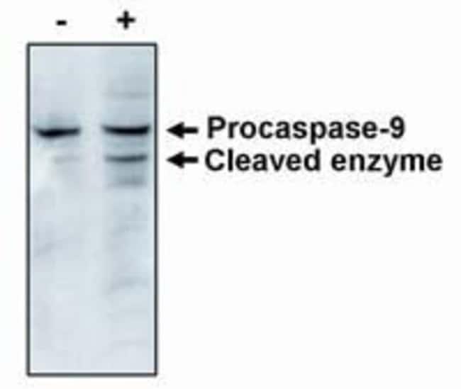 Caspase 9 Mouse anti-Human, Clone: LAAP6 96 2-22, Invitrogen 100 μg;