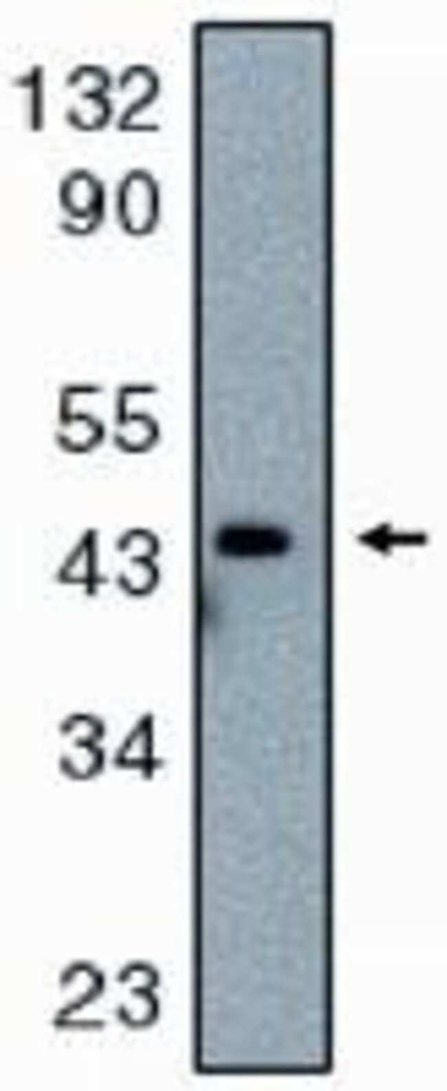 Caspase 9 Rabbit anti-Human, Polyclonal, Invitrogen 100 μg; Unconjugated:Antibodies