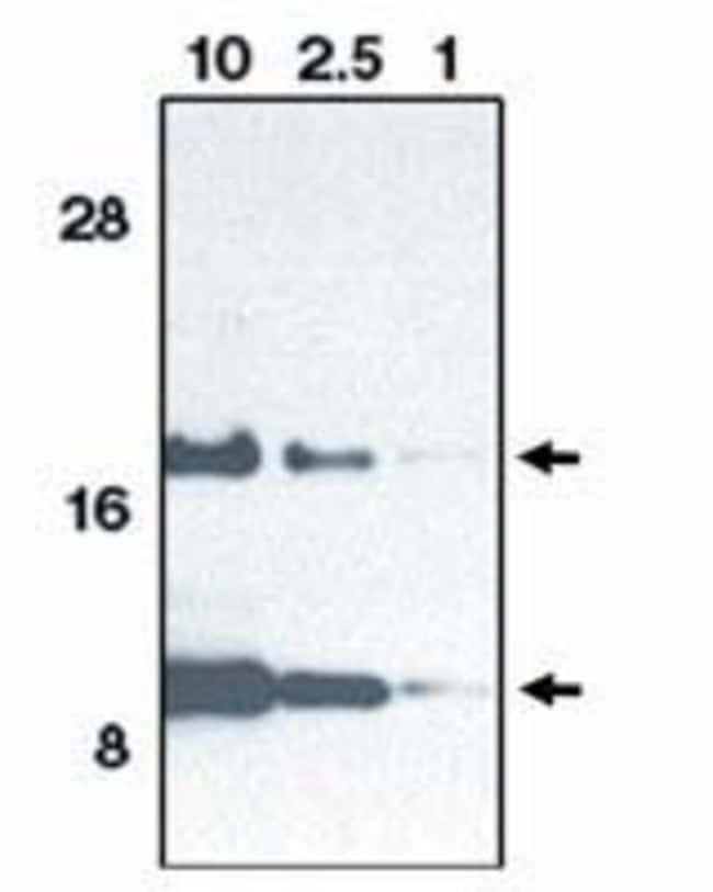Eotaxin Rabbit anti-Human, Polyclonal, Invitrogen 100 μg; Unconjugated:Antibodies