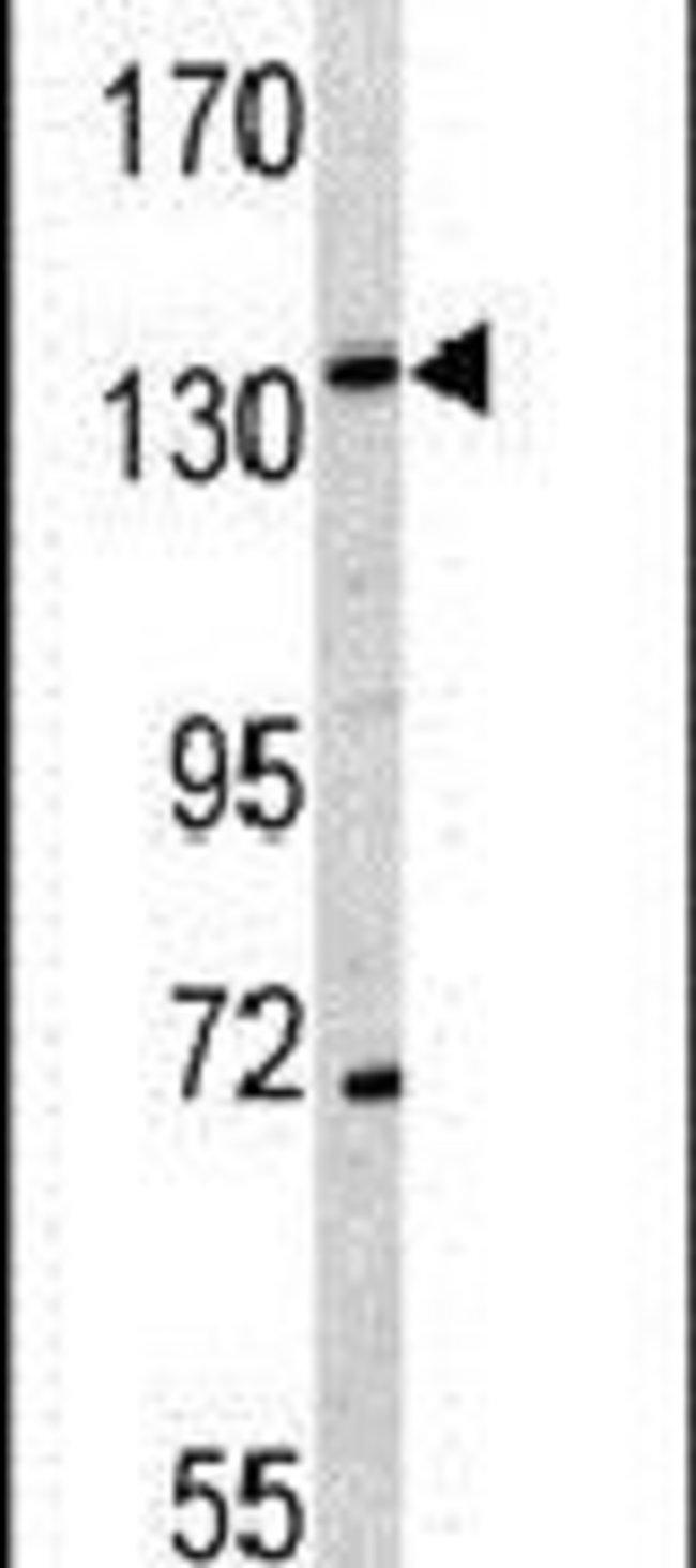 CD163 Rabbit anti-Human, Polyclonal, Invitrogen 400 µL; Unconjugated