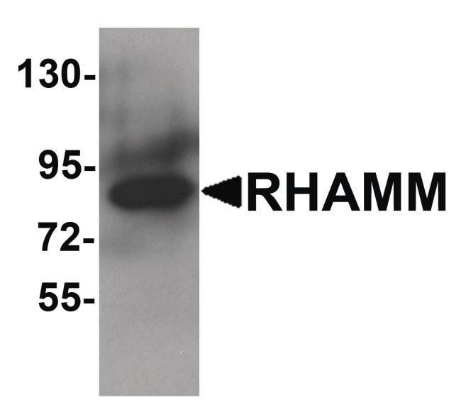 RHAMM Rabbit anti-Human, Mouse, Rat, Polyclonal, Invitrogen 100 µg;