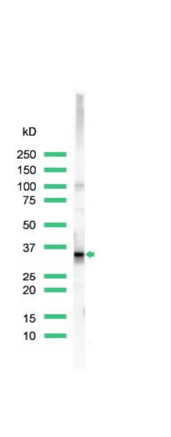 CD20 Rabbit anti-Human, Polyclonal, Invitrogen 1 mL; Unconjugated