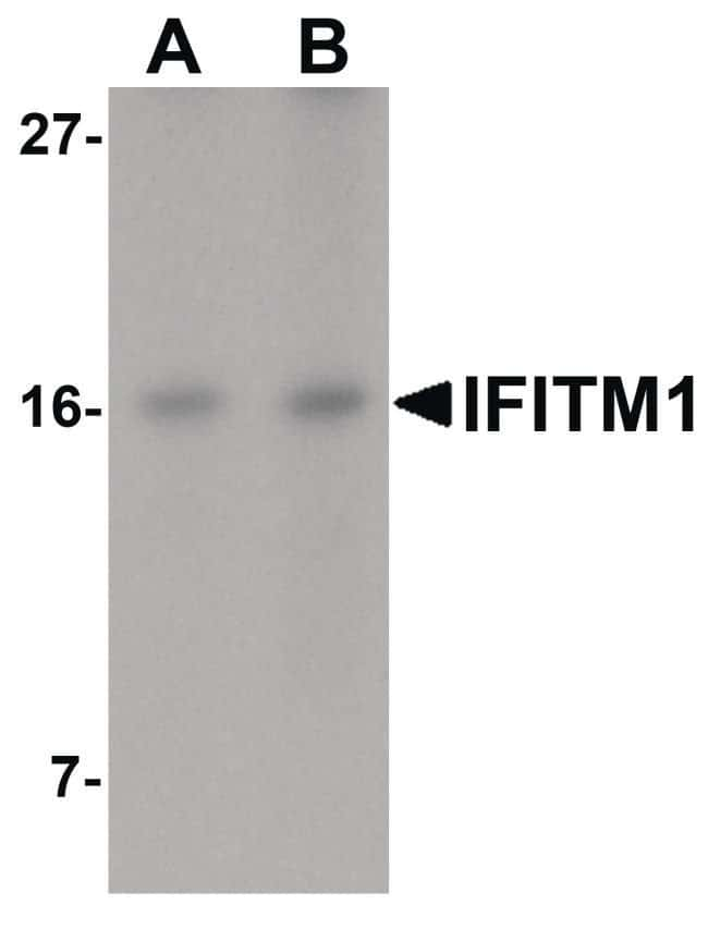IFITM1 Rabbit anti-Human, Polyclonal, Invitrogen 100 µg; Unconjugated
