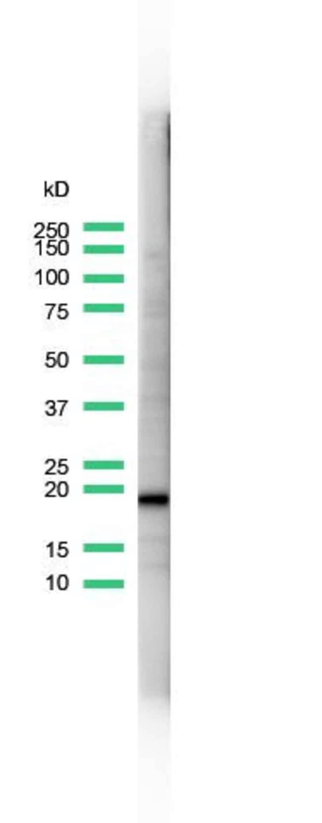 CD3e Rabbit anti-Human, Polyclonal, Invitrogen 1 mL; Unconjugated:Antibodies