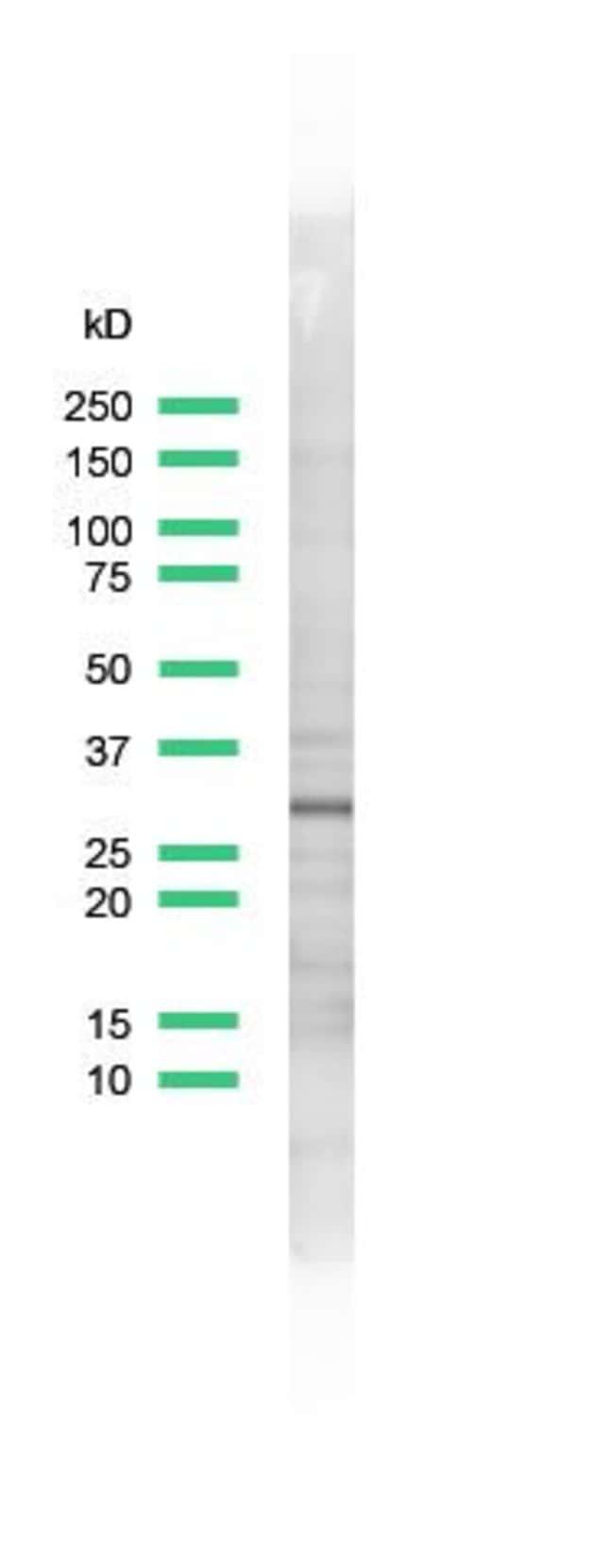 CDK1 Rabbit anti-Human, Polyclonal, Invitrogen 1 mL; Unconjugated:Antibodies
