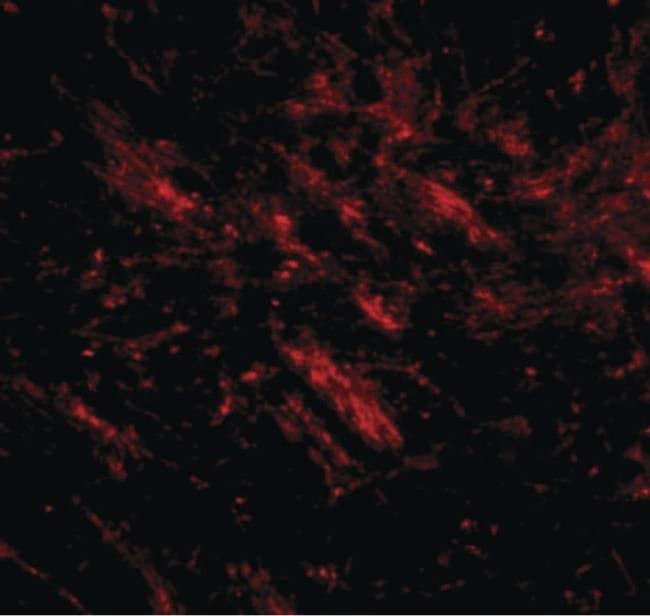 CDIP1 Rabbit anti-Human, Mouse, Polyclonal, Invitrogen 100 µg; Unconjugated