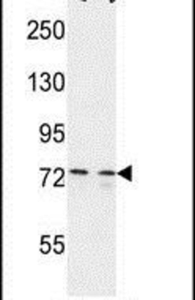 CEP63 Rabbit anti-Human, Polyclonal, Invitrogen 400 µL; Unconjugated