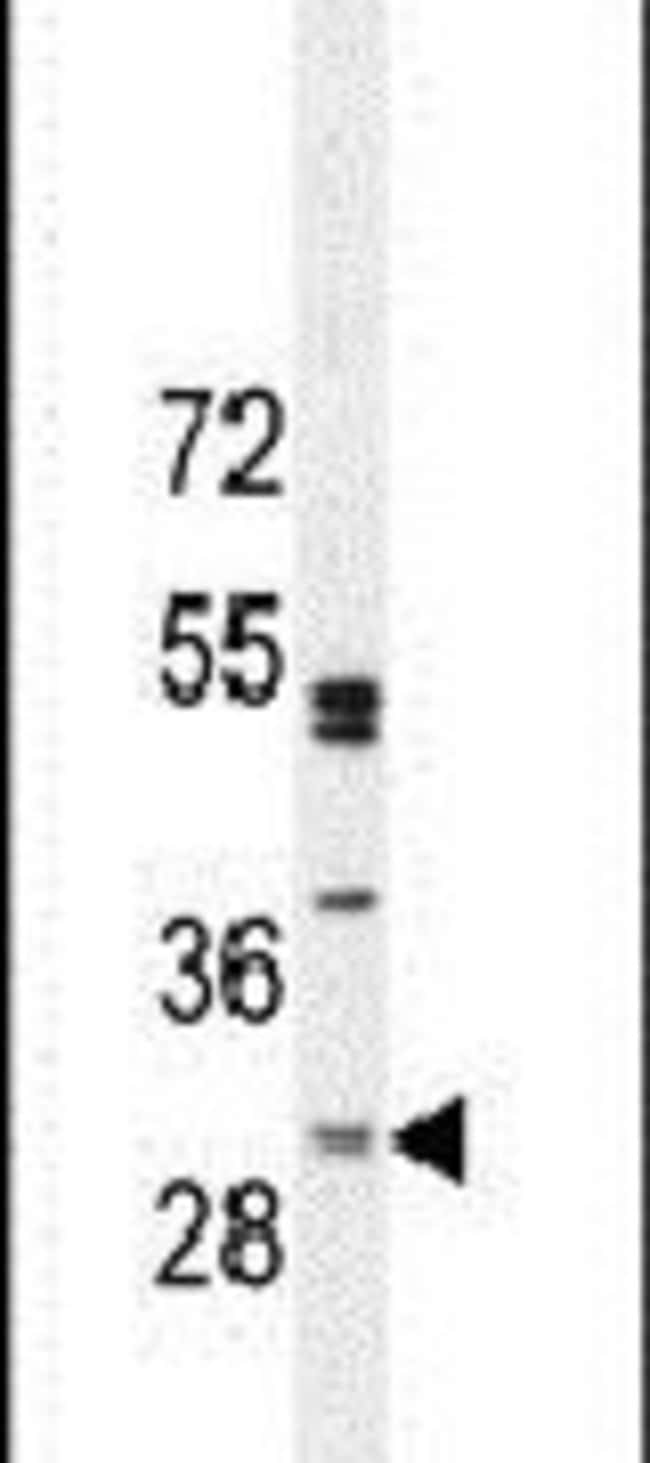 C6orf62 Rabbit anti-Hamster, Human, Mouse, Polyclonal, Invitrogen 400 µL;