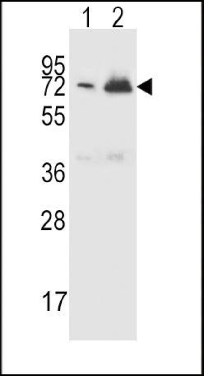 CFHR5 Rabbit anti-Human, Polyclonal, Invitrogen 400 µL; Unconjugated