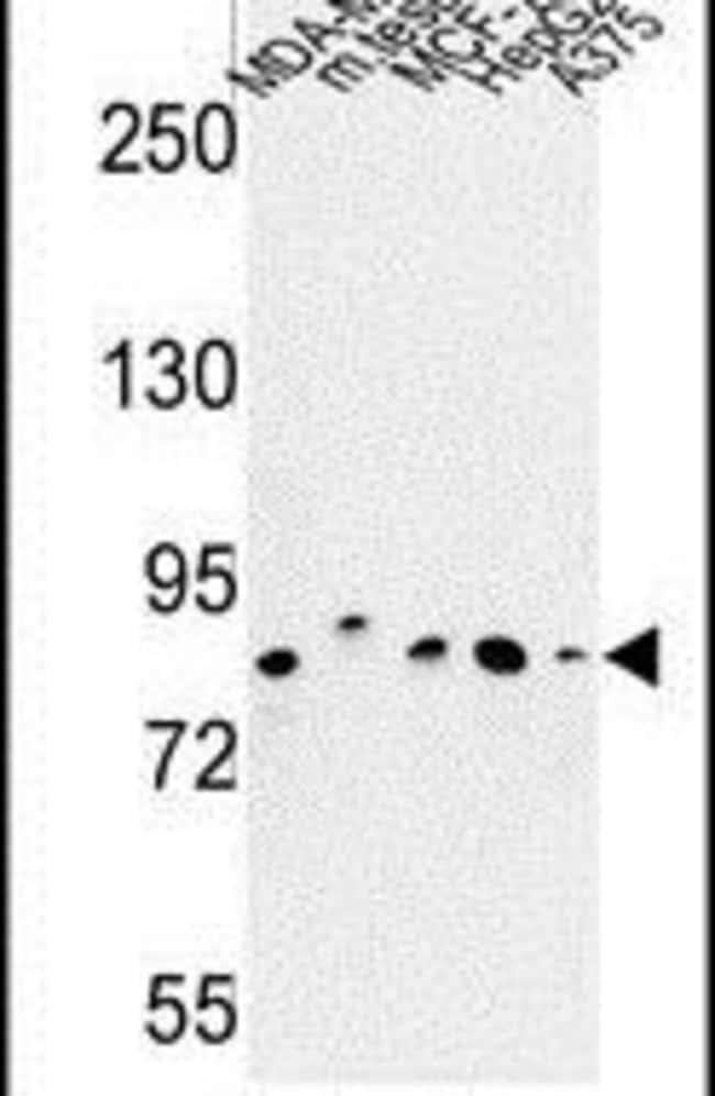 CHPF Rabbit anti-Human, Mouse, Polyclonal, Invitrogen 400 µL; Unconjugated