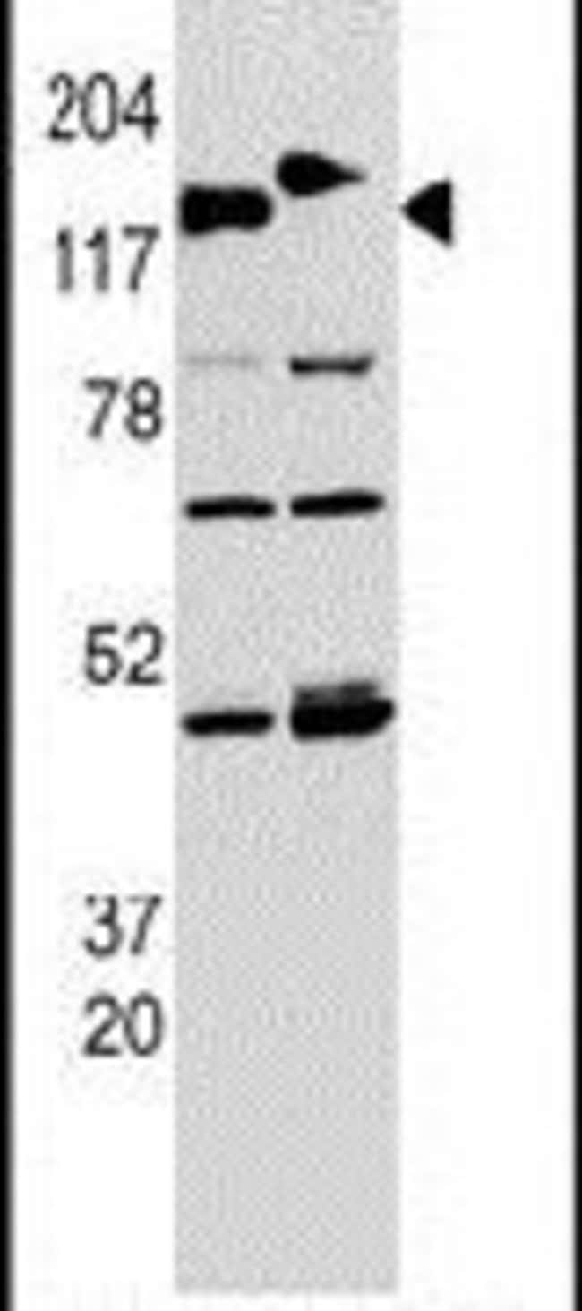 CLASP2 Rabbit anti-Human, Mouse, Polyclonal, Invitrogen 400 µL; Unconjugated
