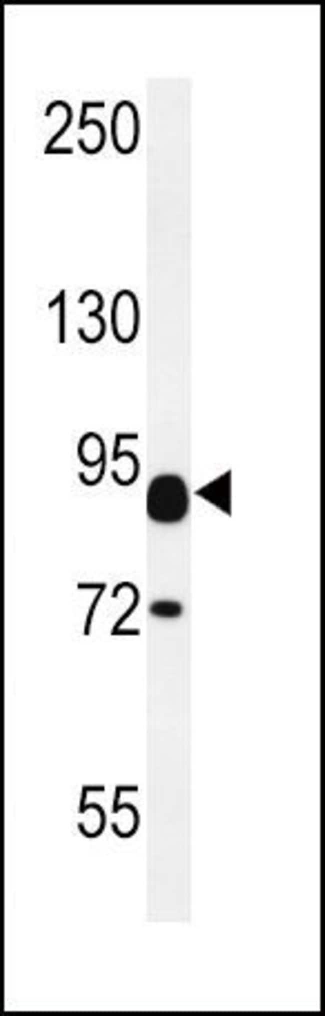 Contactin 2 Rabbit anti-Human, Mouse, Polyclonal, Invitrogen 400 µL;