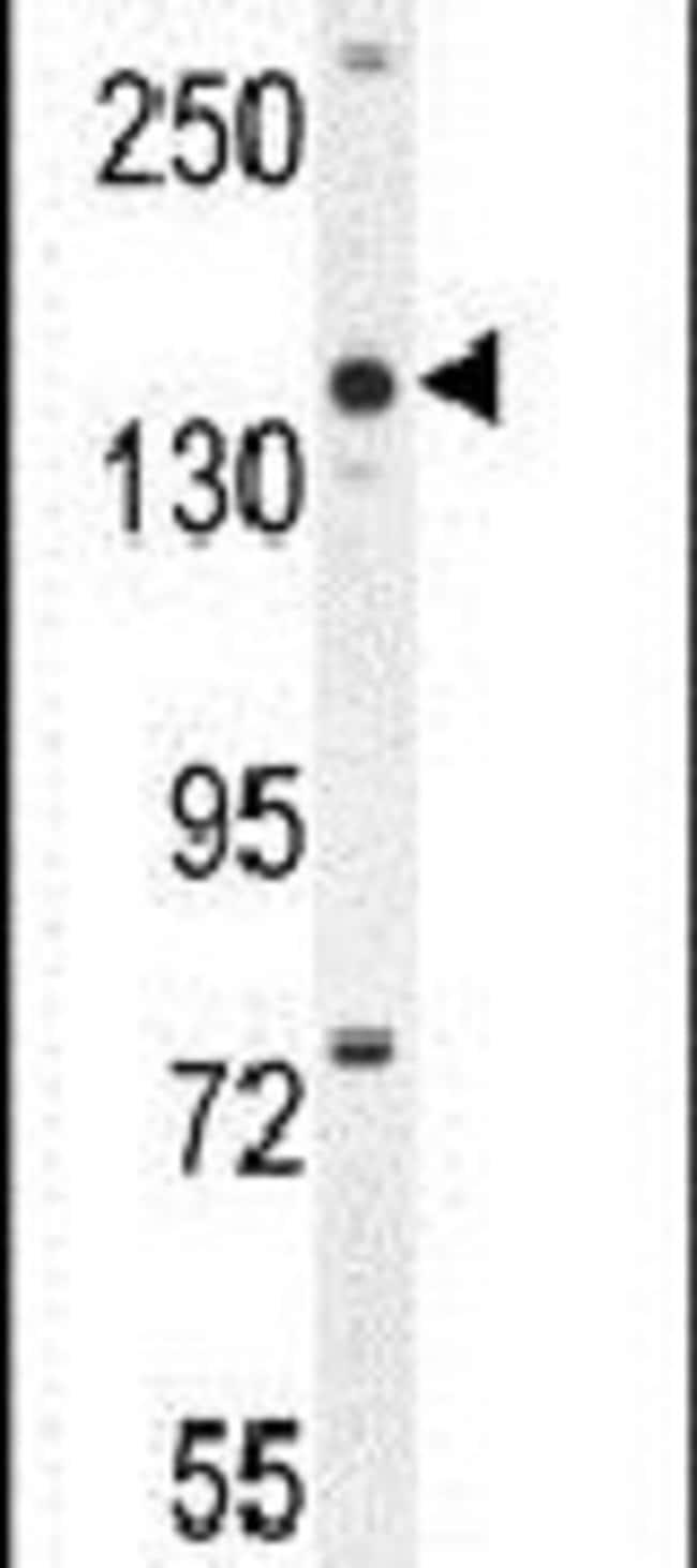 COBL Rabbit anti-Human, Mouse, Polyclonal, Invitrogen 400 µL; Unconjugated