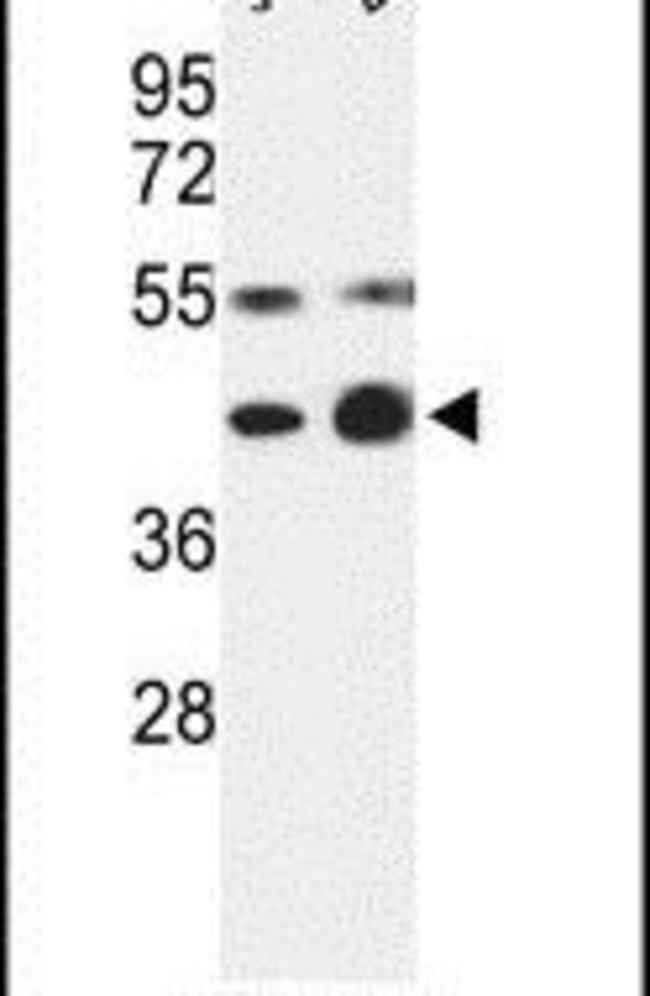 COPS3 Rabbit anti-Human, Polyclonal, Invitrogen 400 µL; Unconjugated