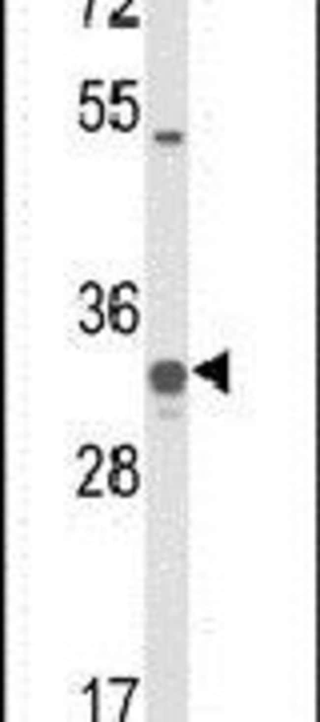 COQ5 Rabbit anti-Human, Mouse, Polyclonal, Invitrogen 400 µL; Unconjugated