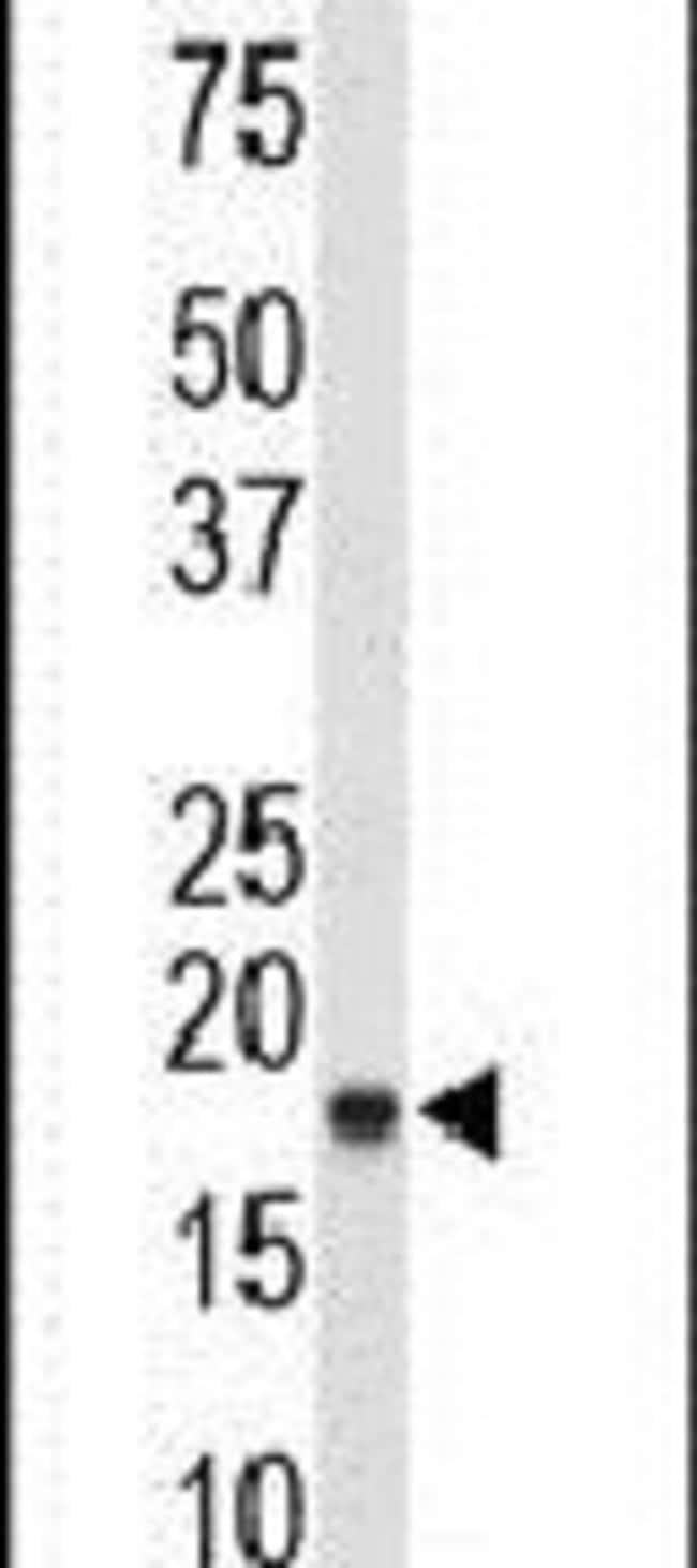 COX4 Rabbit anti-Human, Polyclonal, Invitrogen 400 µL; Unconjugated