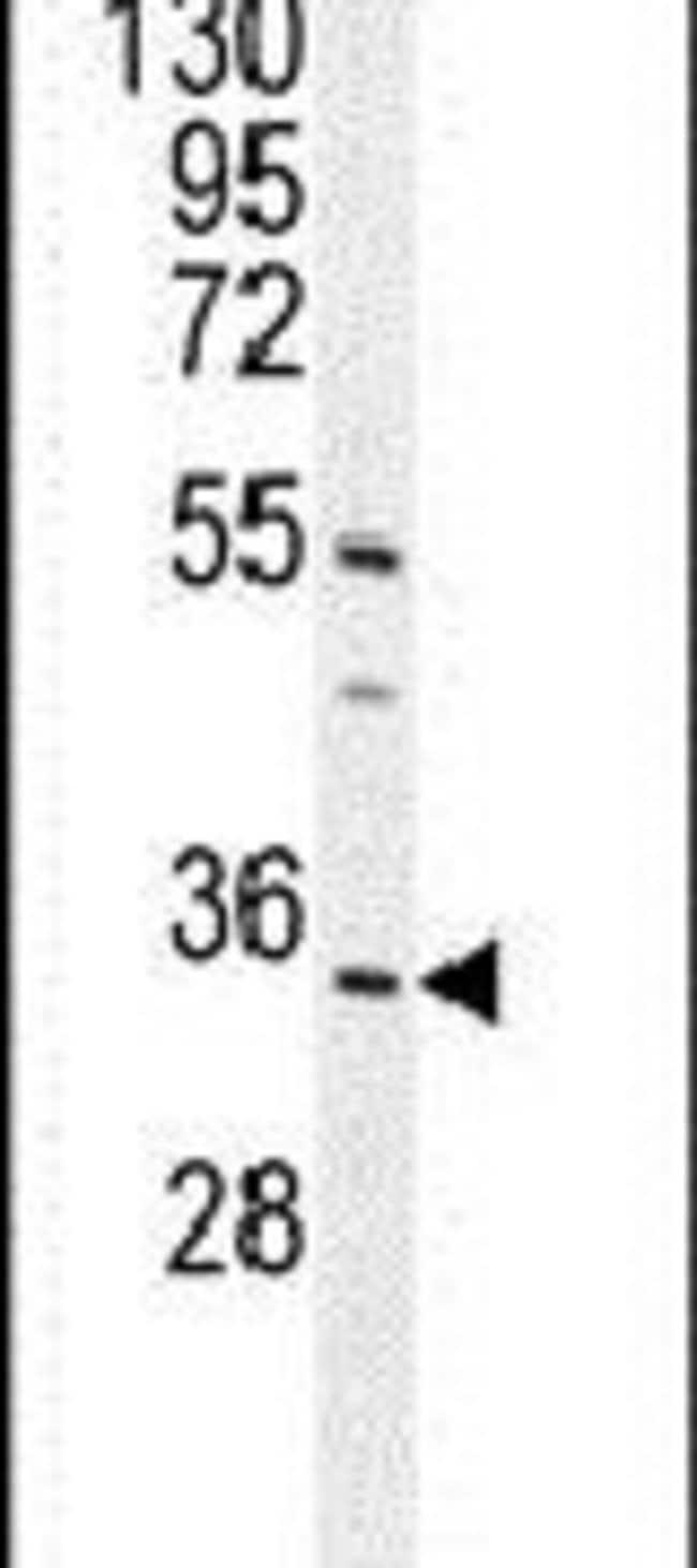 C18orf25 Rabbit anti-Human, Mouse, Polyclonal, Invitrogen 400 µL;