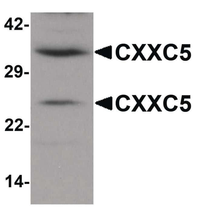 CXXC5 Rabbit anti-Human, Mouse, Rat, Polyclonal, Invitrogen 100 µg;