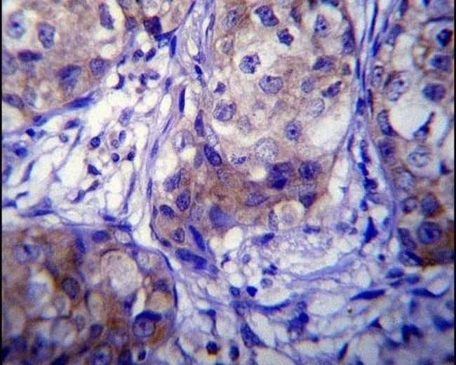 CYP1A1 Rabbit anti-Human, Mouse, Polyclonal, Invitrogen 400 µL; Unconjugated