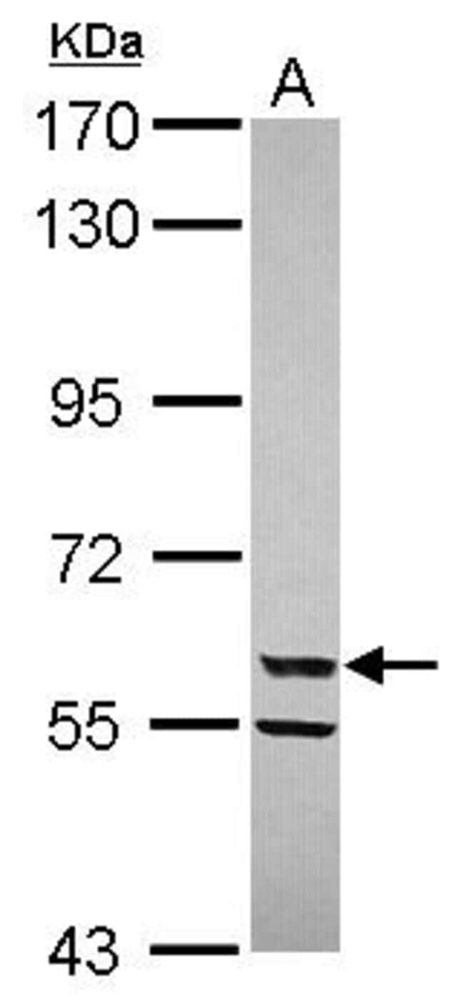 CYP3A4 Rabbit anti-Human, Rat, Polyclonal, Invitrogen 100 µL; Unconjugated