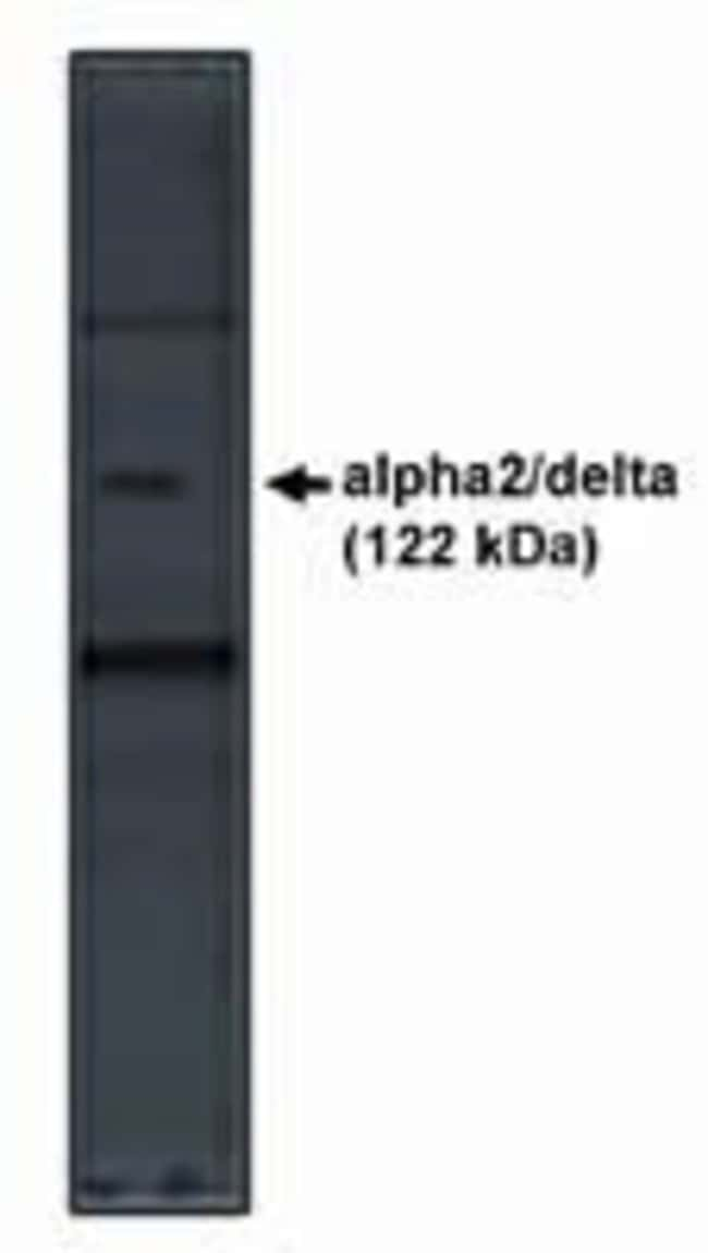 CACNA2D1 Rabbit anti-Human, Rat, Polyclonal, Invitrogen 100 μg; Unconjugated:Antibodies