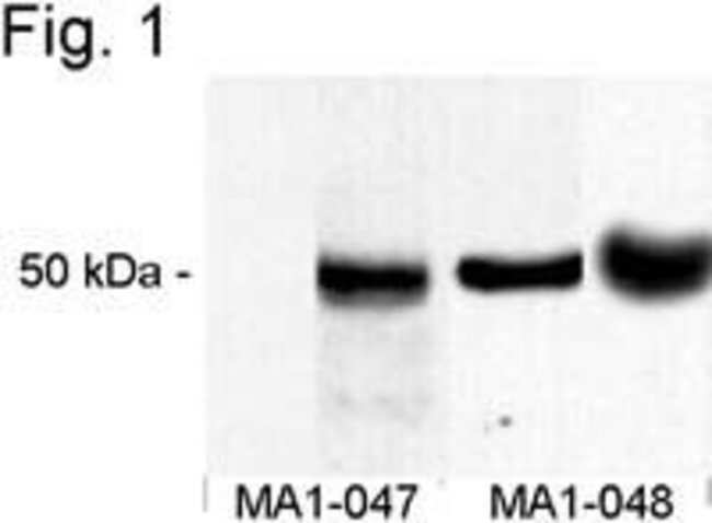 CaMKII alpha Mouse anti-Mouse, Rat, Clone: 6G9, Invitrogen™ 100 μL; Unconjugated Primary Antibodies Cam to Car