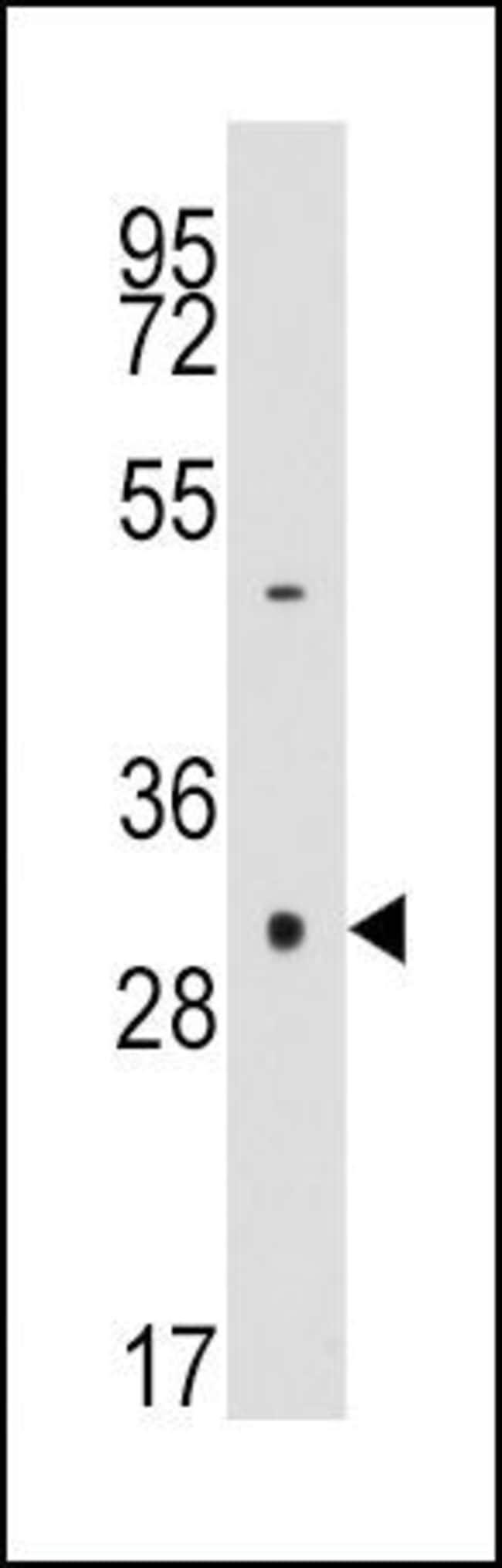 Caspase 3 Rabbit anti-Human, Polyclonal, Invitrogen 400 µL; Unconjugated