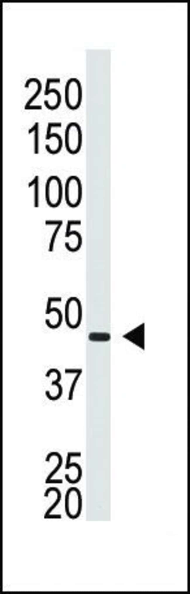 Connexin 40 Rabbit anti-Human, Polyclonal, Invitrogen 400 µL; Unconjugated