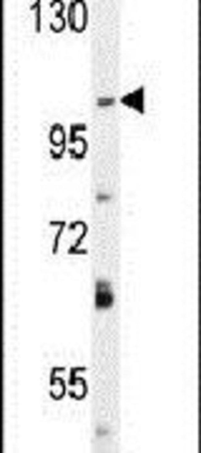 DAGLA Rabbit anti-Human, Mouse, Polyclonal, Invitrogen 400 µL; Unconjugated