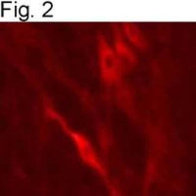 Dopamine beta Hydroxylase Sheep anti-Bovine, Human, Mouse, Rat, Polyclonal,