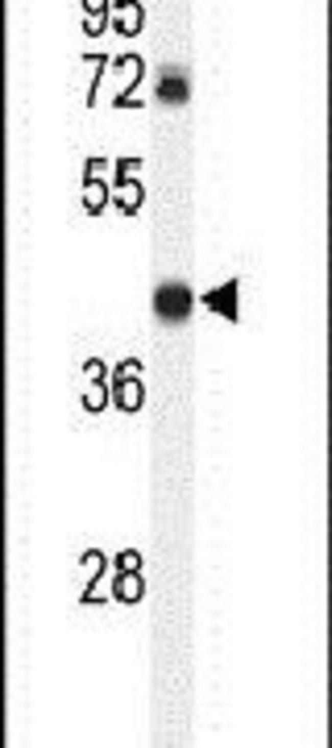 DDX39 Rabbit anti-Human, Polyclonal, Invitrogen 400 µL; Unconjugated