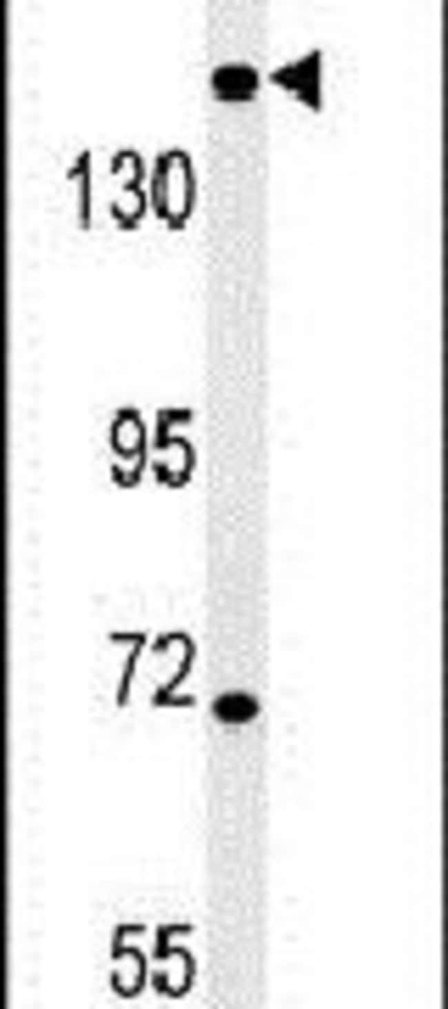 DIS3L Rabbit anti-Human, Mouse, Polyclonal, Invitrogen 400 µL; Unconjugated