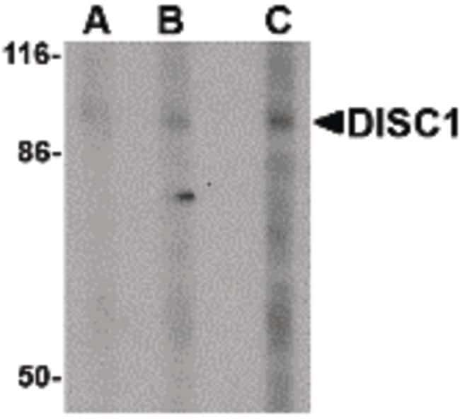 DISC1 Rabbit anti-Human, Mouse, Polyclonal, Invitrogen 100 µg; Unconjugated