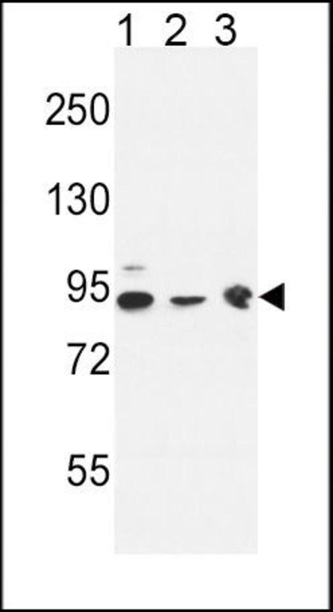 DNAJC6 Rabbit anti-Human, Mouse, Polyclonal, Invitrogen 400 µL; Unconjugated