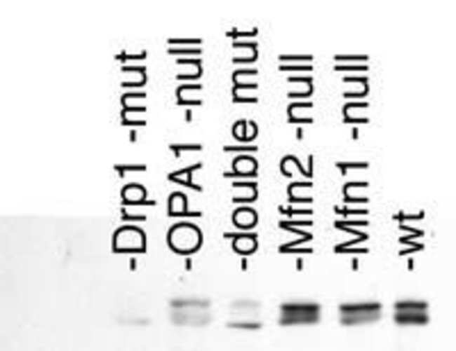 DNM1L Rabbit anti-Human, Mouse, Rat, Polyclonal, Invitrogen 100 µL;