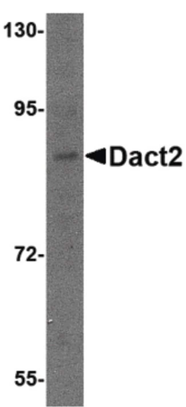 DACT2 Rabbit anti-Human, Mouse, Rat, Polyclonal, Invitrogen 100 µg;