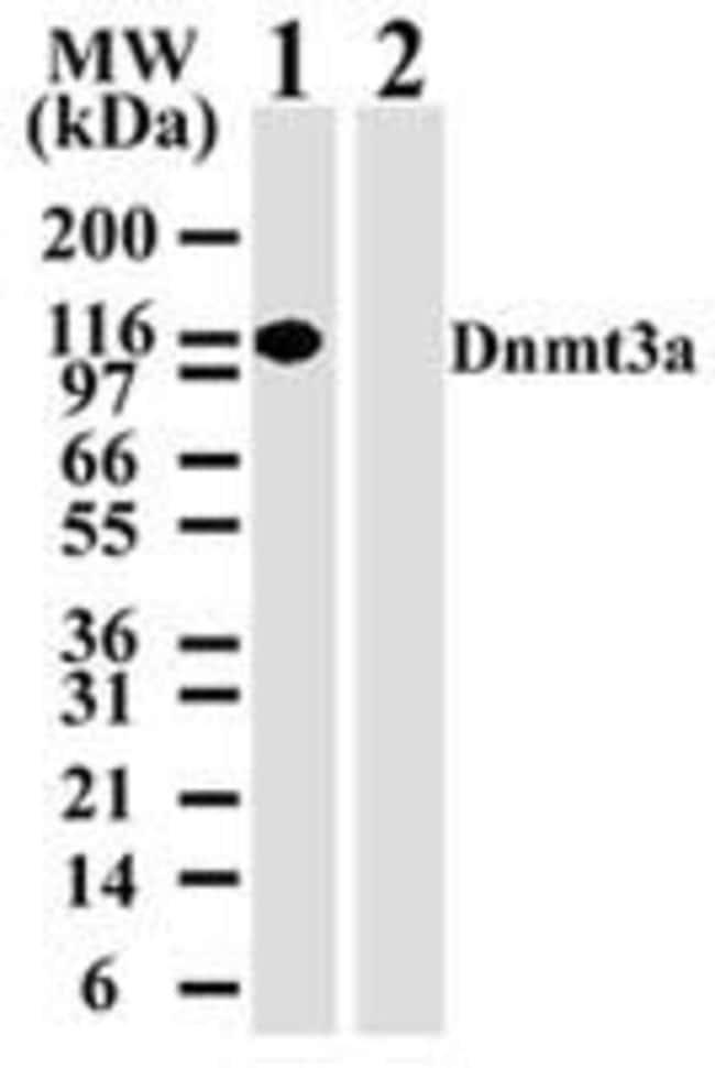 DNMT3A Mouse anti-Human, Mouse, Clone: 64B814.1, Invitrogen 100 µg;