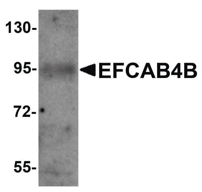 EFCAB4B Rabbit anti-Human, Mouse, Polyclonal, Invitrogen 100 µg; Unconjugated