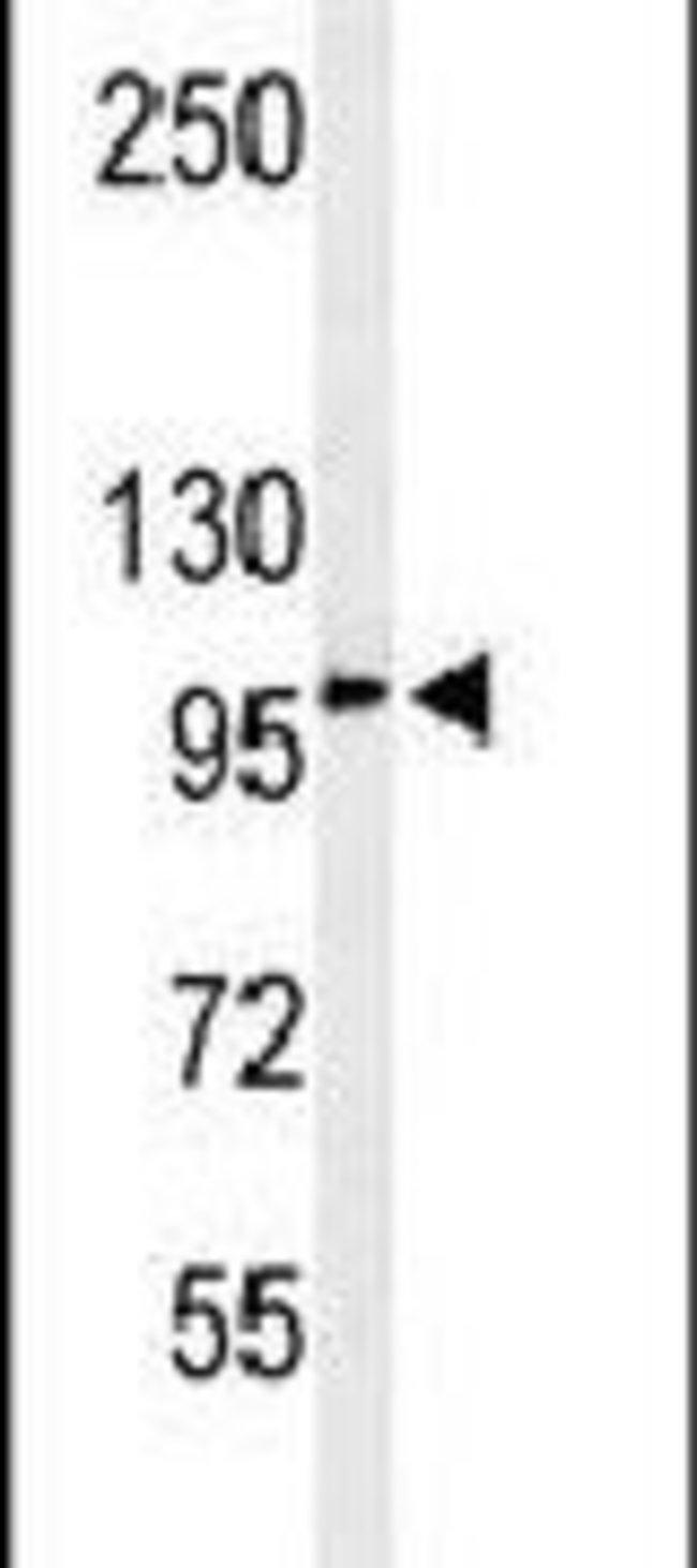 EFR3A Rabbit anti-Human, Polyclonal, Invitrogen 400 µL; Unconjugated