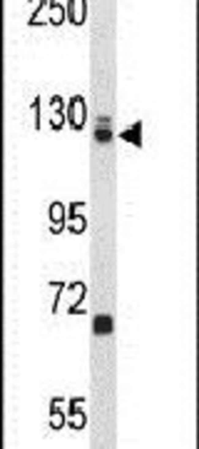 EFTUD2 Rabbit anti-Human, Polyclonal, Invitrogen 400 µL; Unconjugated