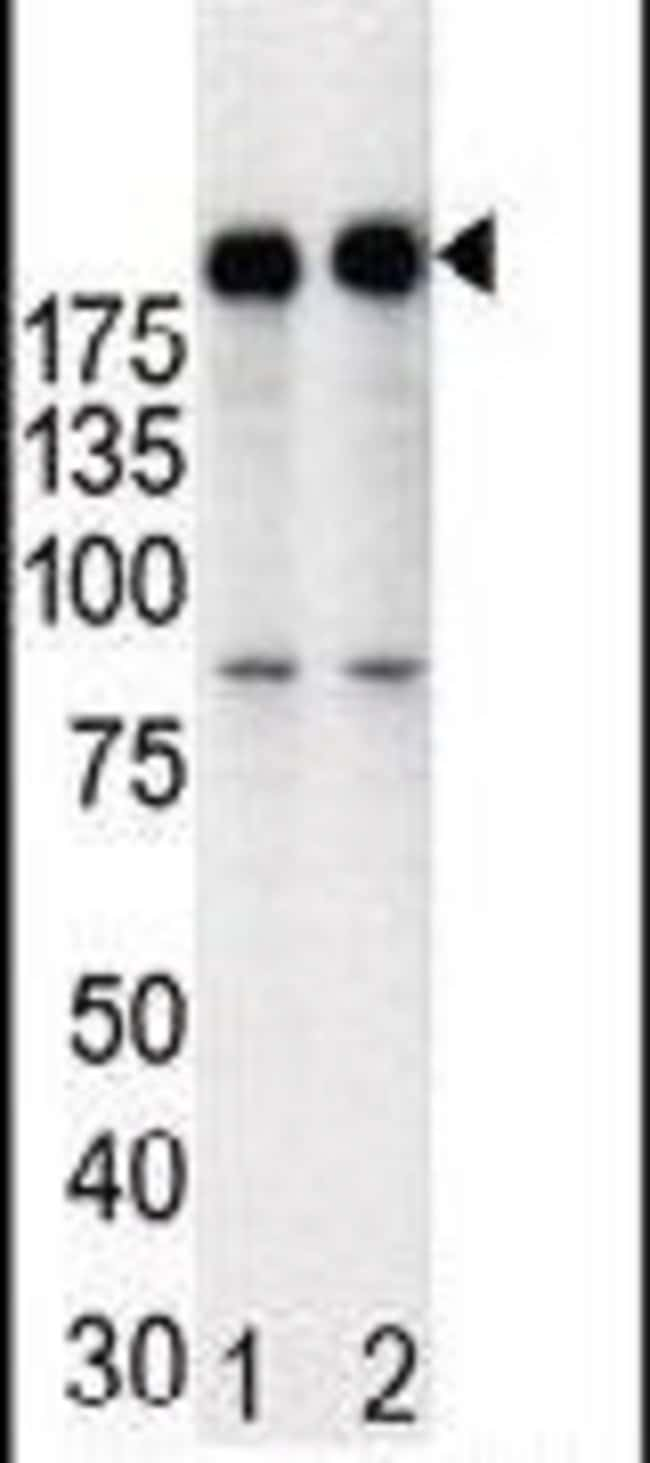 ErbB2 (HER-2) Rabbit anti-Human, Polyclonal, Invitrogen 400 µL; Unconjugated