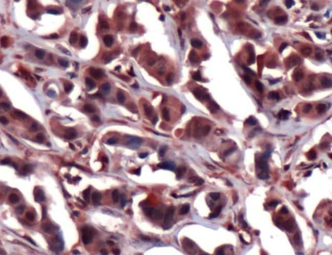 ERK2 Rabbit anti-Human, Mouse, Polyclonal, Invitrogen 1 mL; Unconjugated