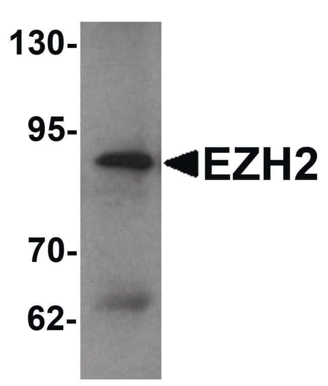 EZH2 Rabbit anti-Human, Mouse, Polyclonal, Invitrogen 100 µg; Unconjugated